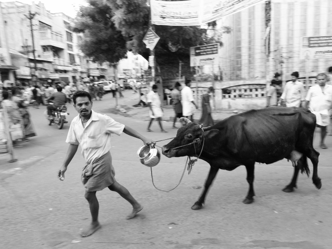 Milkman taking his cow for milking; overcoming it's slight resistance. Madurai, India.
