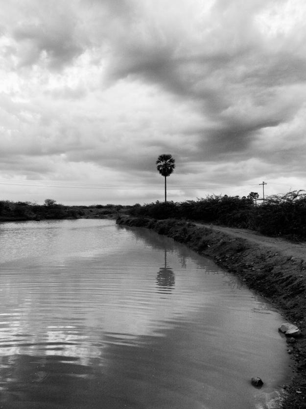 A single palm tree, by the bank of reservoir. Vadakku Vandanam, Tamil Nadu, India.