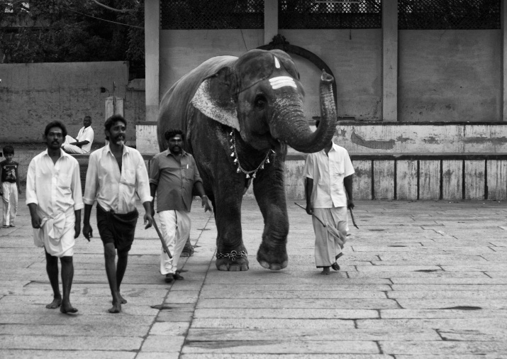Mahout and his assistants taking the temple elephant for evening darshan. Meenakshi Temple, Madurai, India.