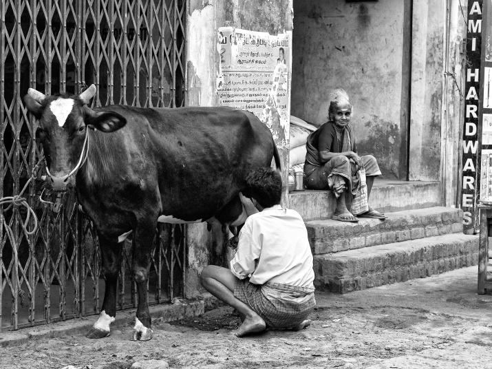 Milkman milking the cow along the street, Madurai, India.