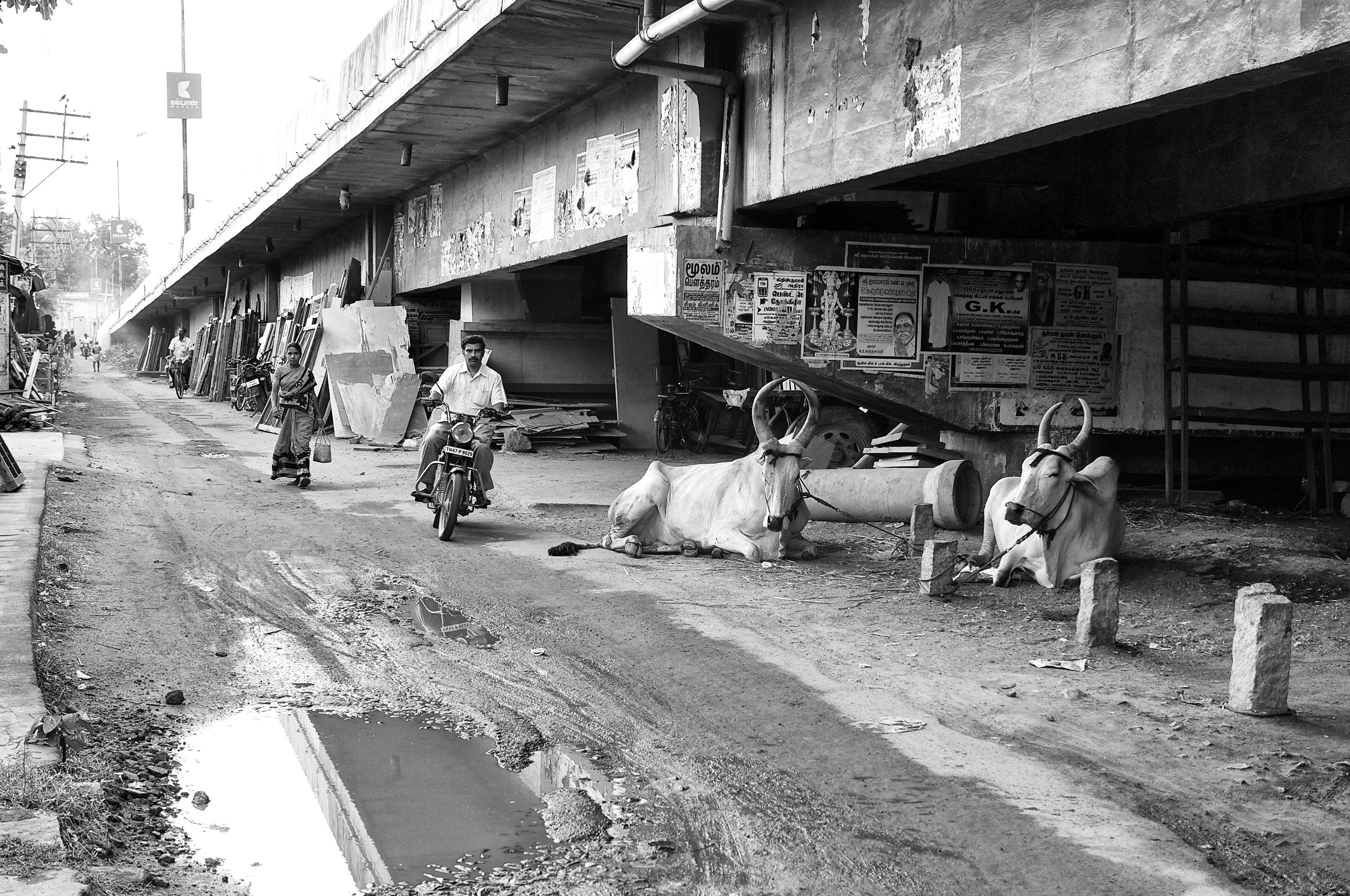 Bulls are resting under the bridge, Virudhunagar, India