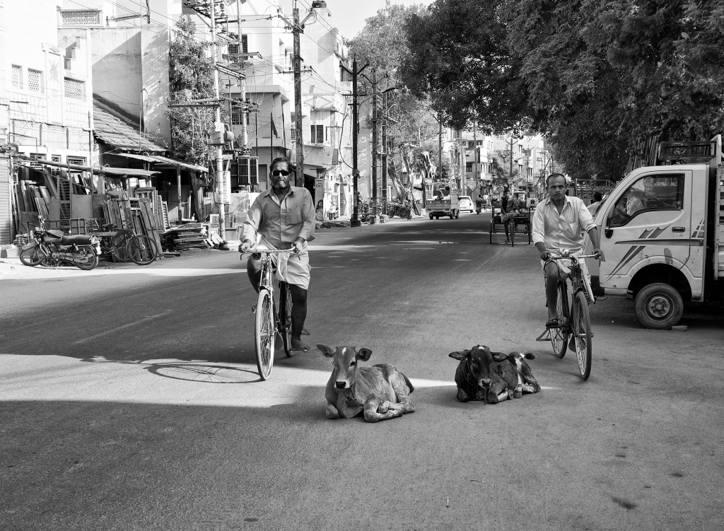 Cyclists cycling around the calves resting by the roadside. Madurai, Tamil Nadu, India
