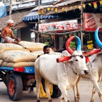Loading men at work in their bull cart, transporting the goods packed in jute sacks. Virudhunagar, India.