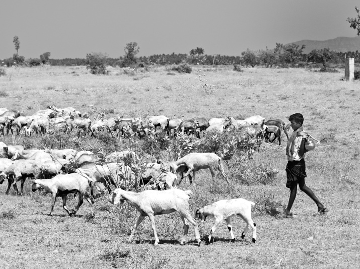 An young shepherd boy taking his herd for grazing. Batlagundu, Tamil Nadu, India