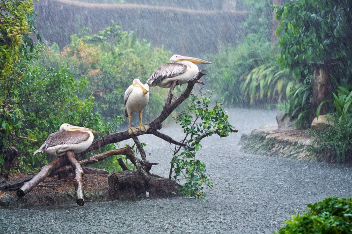 Great White Pelicans getting soaked in the rain at Singapore Zoo, Singapore