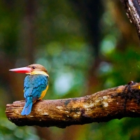 Stork-billed Kingfisher at Singapore Zoo, Singapore