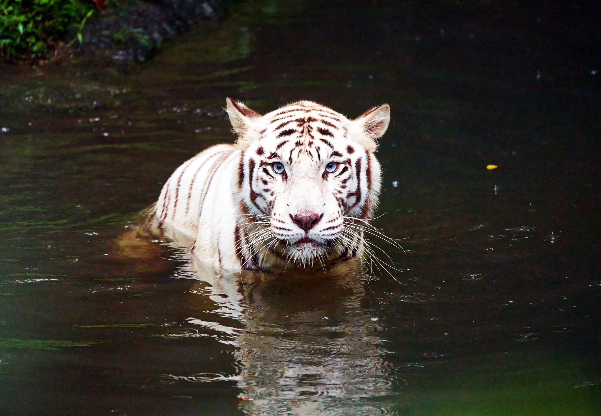 White tiger relaxing in the pond at Singapore Zoo, Singapore
