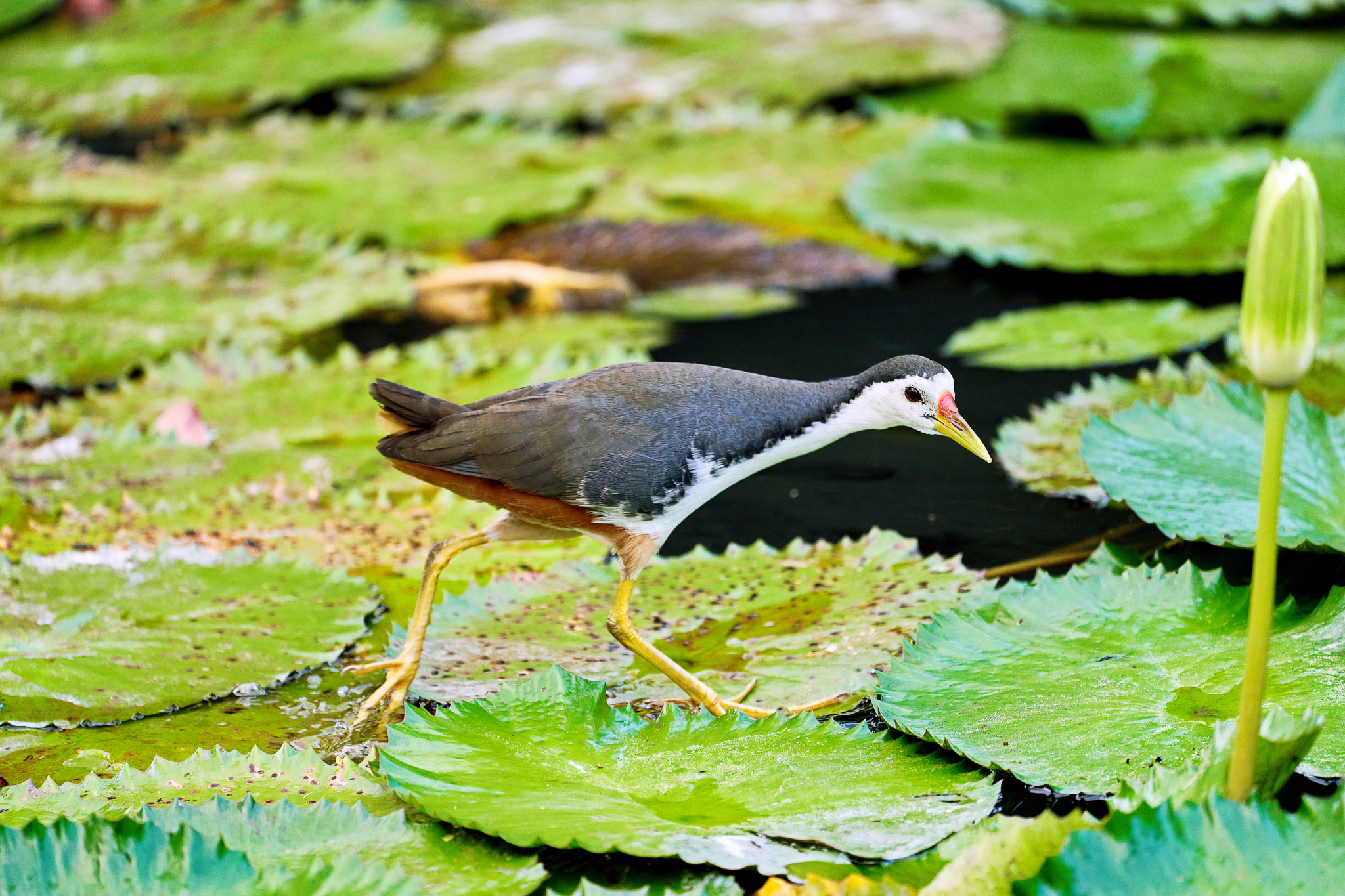 White-breasted Waterhen on the look out for it's prey amongst the lotus leaves in a lake, Singapore Botanic Gardens, Singapore