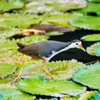 White-breasted Waterhen on the look out for it's prey amongst the lotus leaves in a lake, Singapore Botanic Gardens, Singapore.