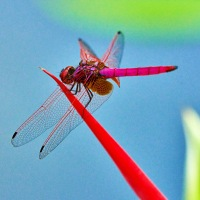 A pink dragonfly at the bird of paradise flower, Singapore Botanic Gardens, Singapore