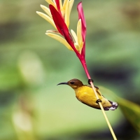 A pair of Olive-backed Sunbirds on a Bird of Paradise Flower, Singapore Botanic Gardens, Singapore