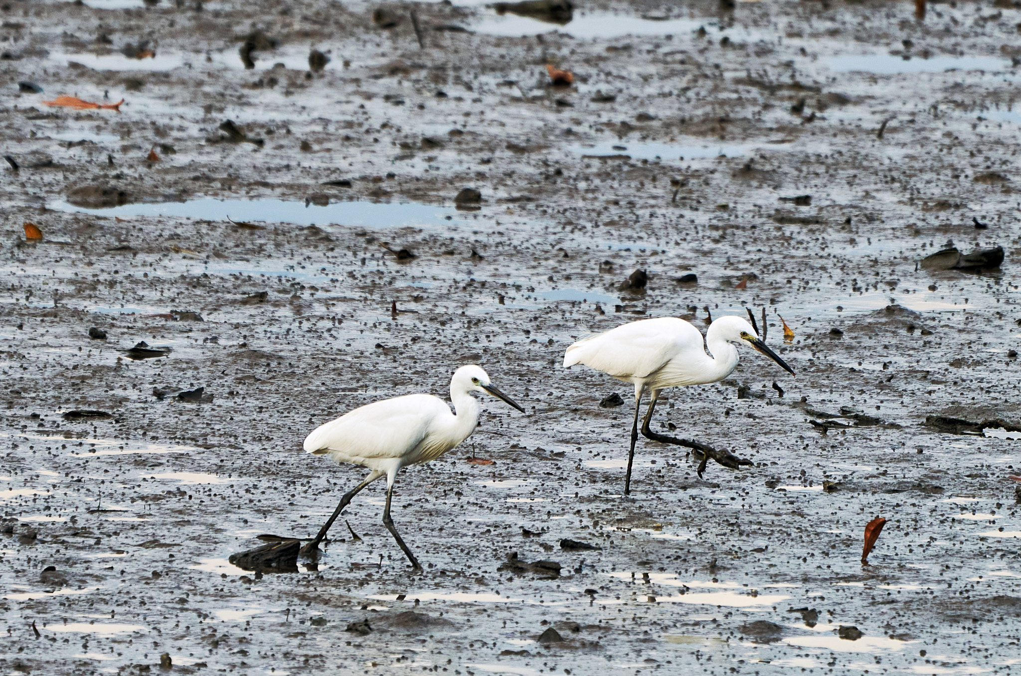 A pair of little egrets on the look out for their prey at the Sungei Buloh Wetland Reserve, Singapore.