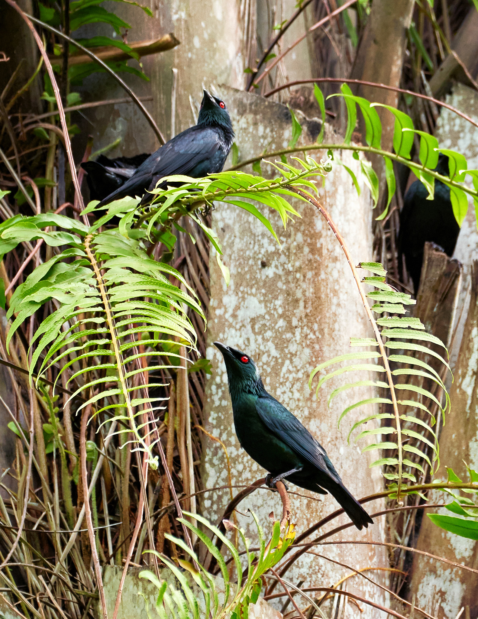 Asian glossy starling birds gathered in a flock, Singapore Botanic Gardens, Singapore