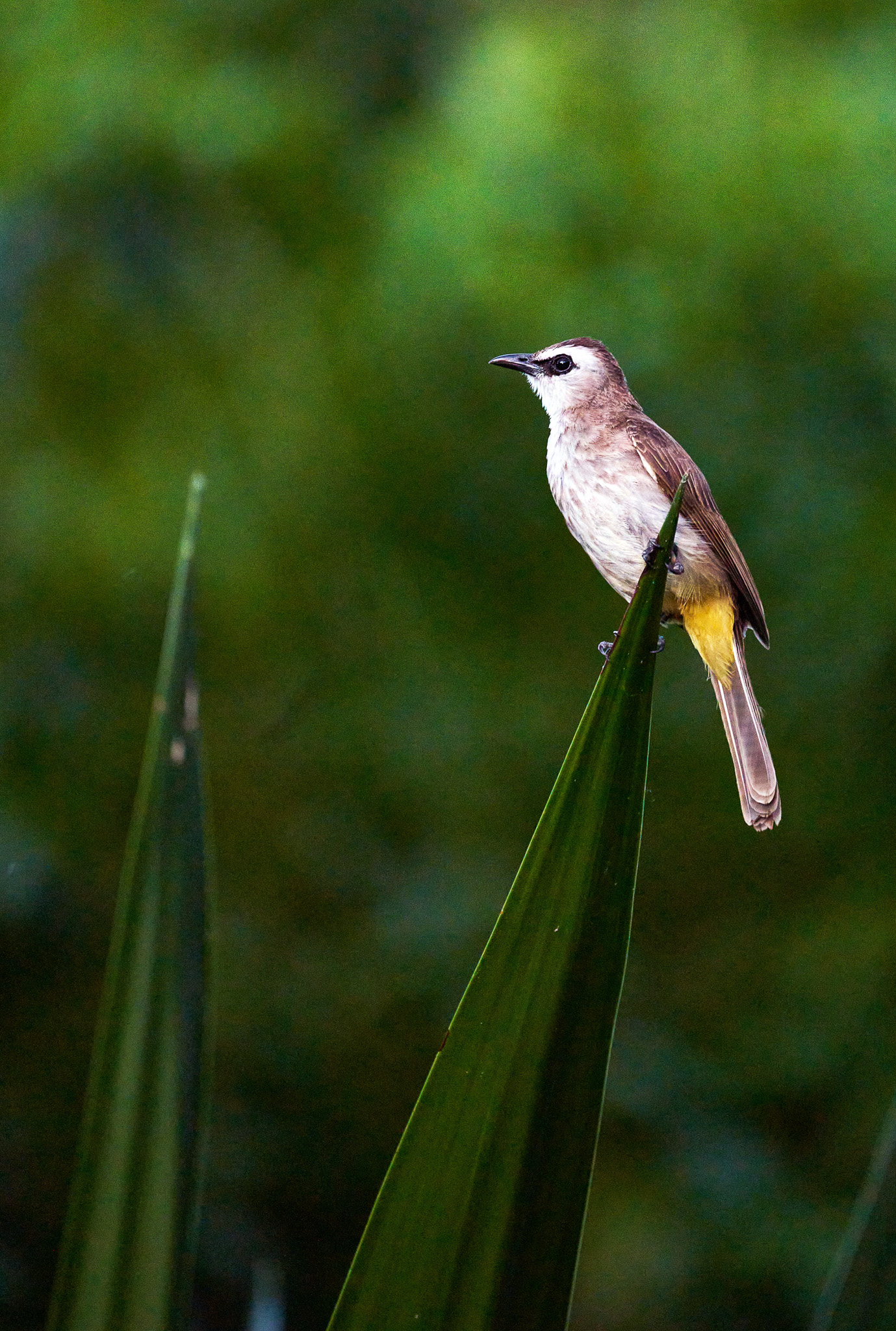 A Yellow-vented Bulbul at Hort Park, Singapore