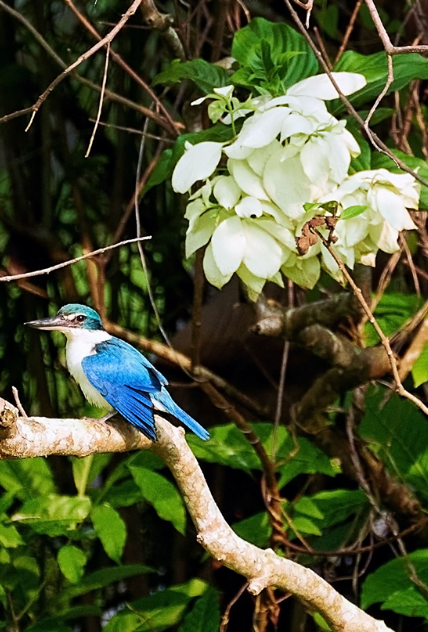 Collared Kingfisher at the Gardens By the Bay, Singapore