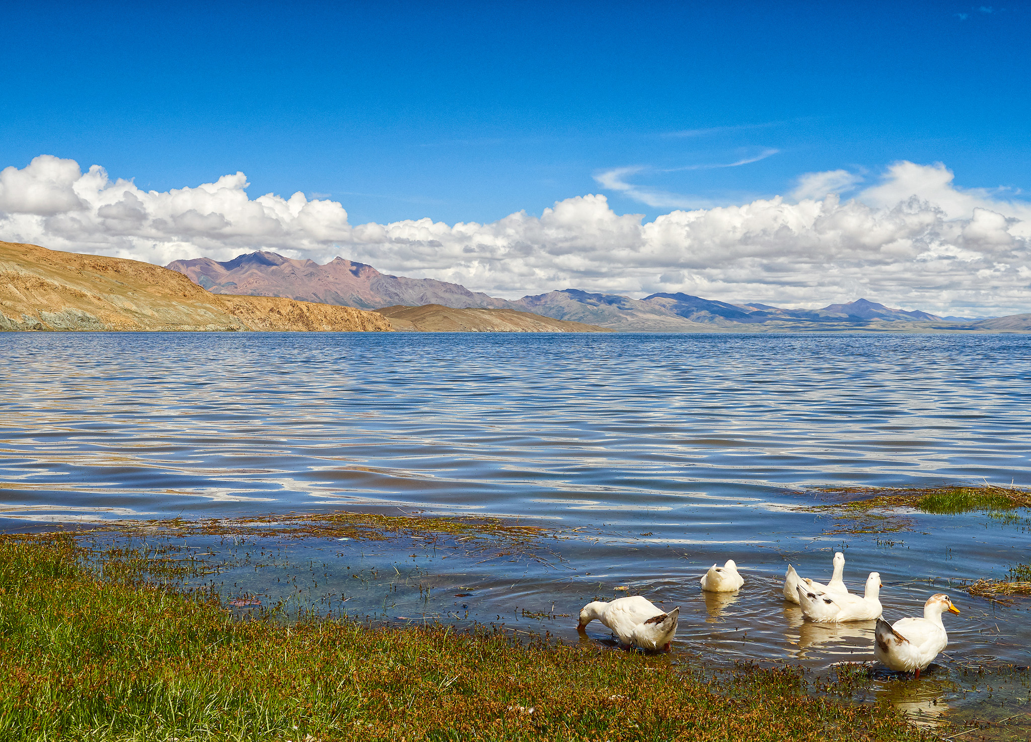 A flock of swans at the high altitude freshwater Lake Manasarovar, Tibet