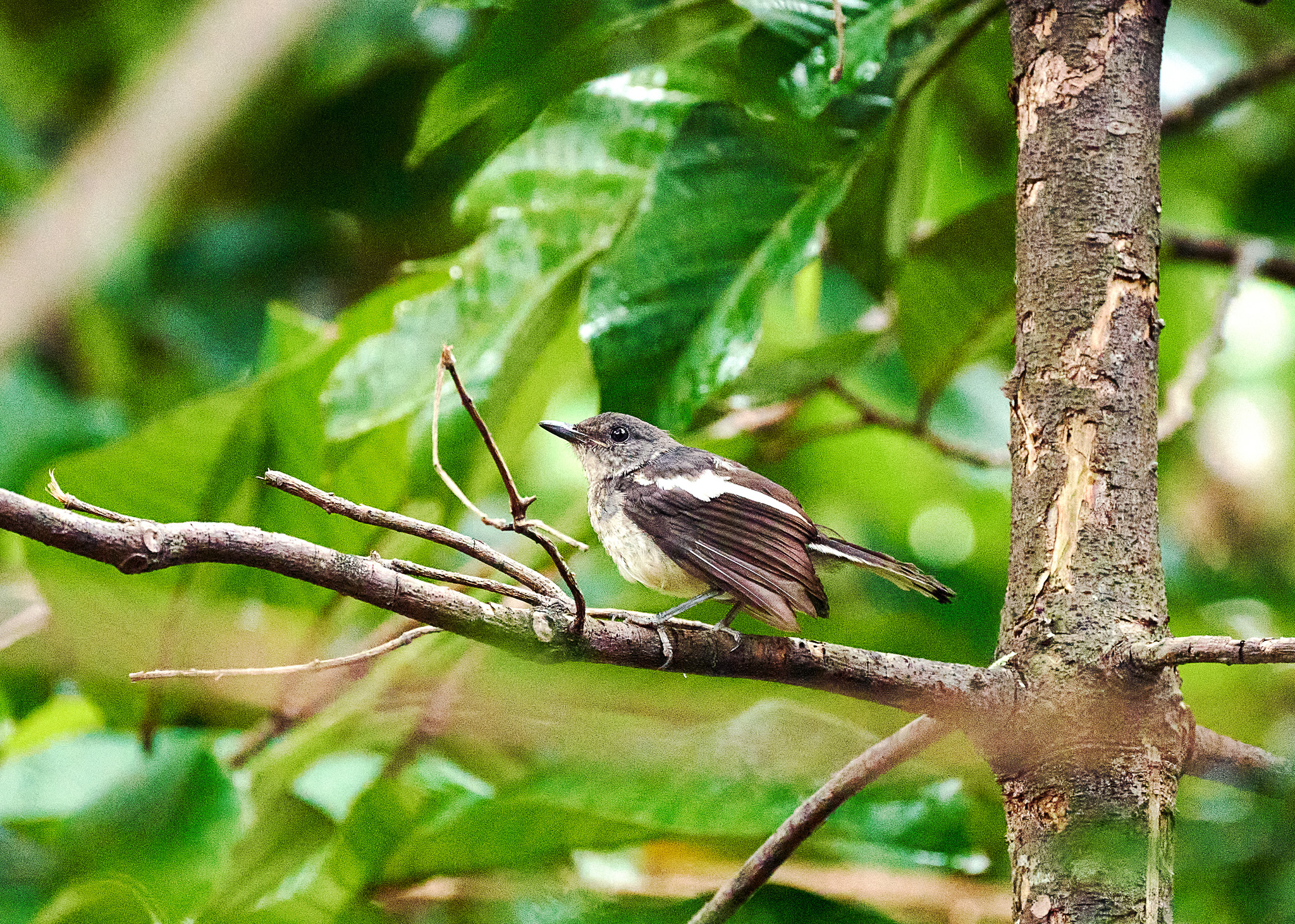 Streaked Bulbul at the Mount Faber Park, Singapore