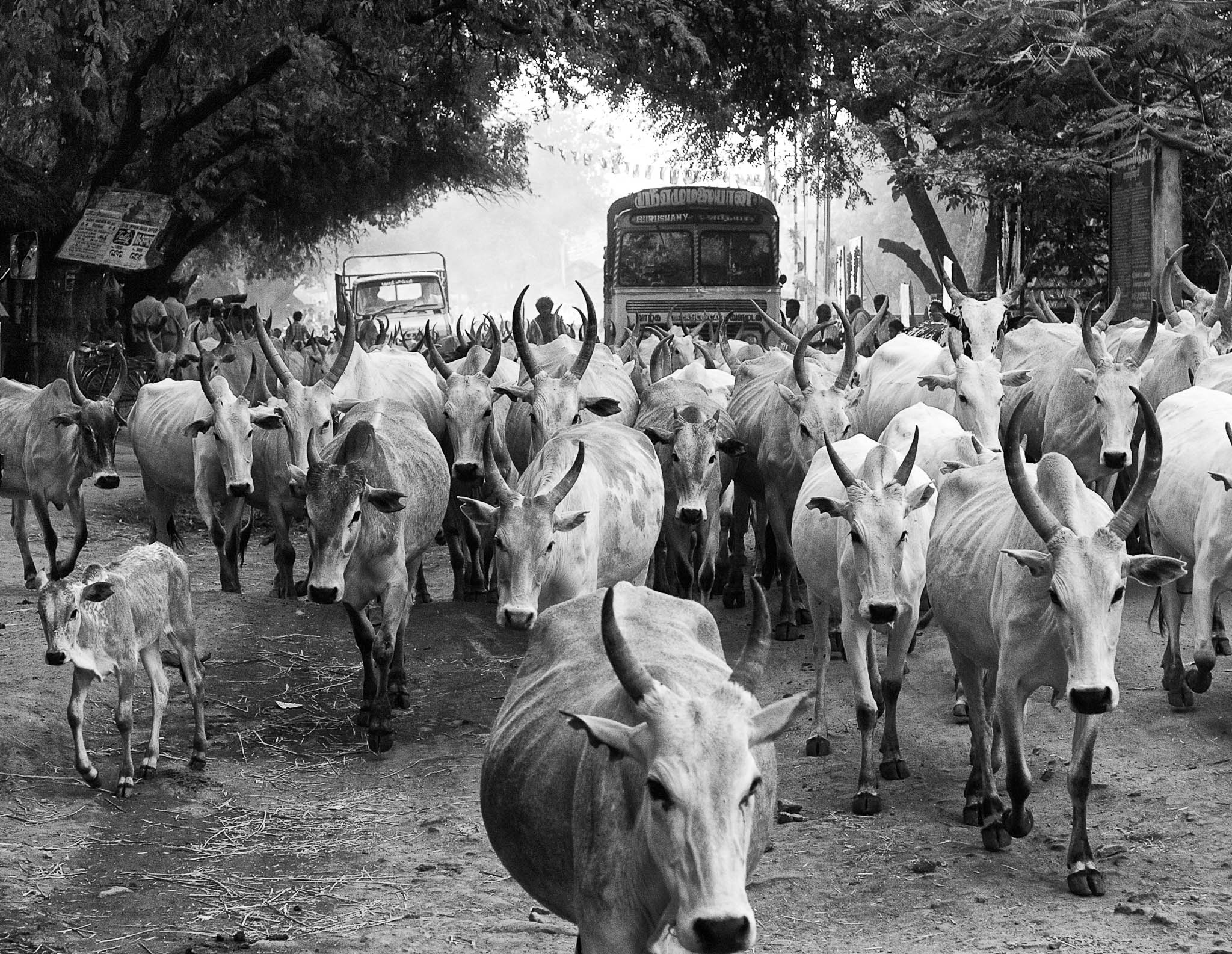 Bulls and calves are on the way to nearby market place. T.Kallupatti-Theni Road, Tamil Nadu, India