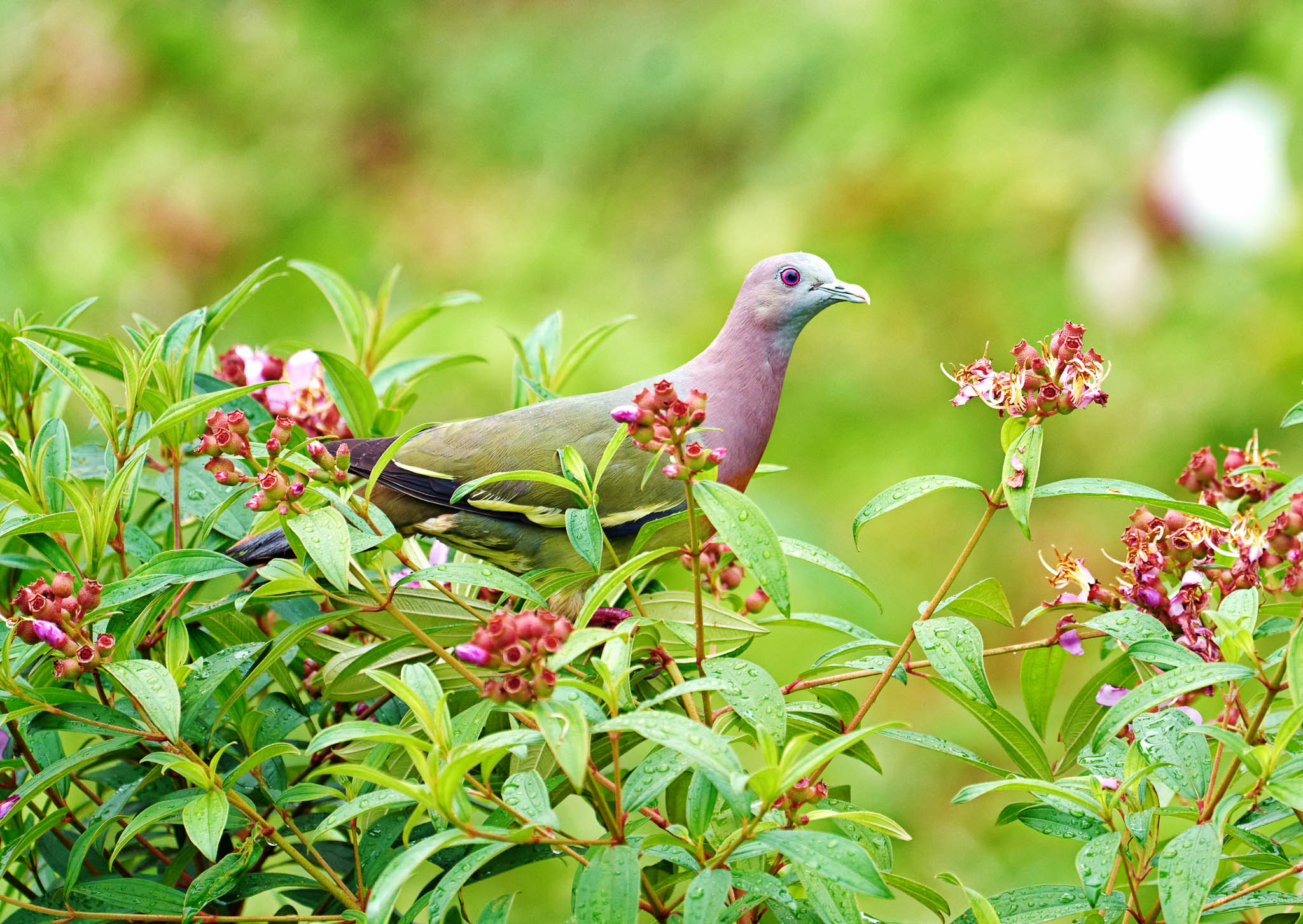 A pink-necked green pigeon at the Mount Faber Park, Singapore