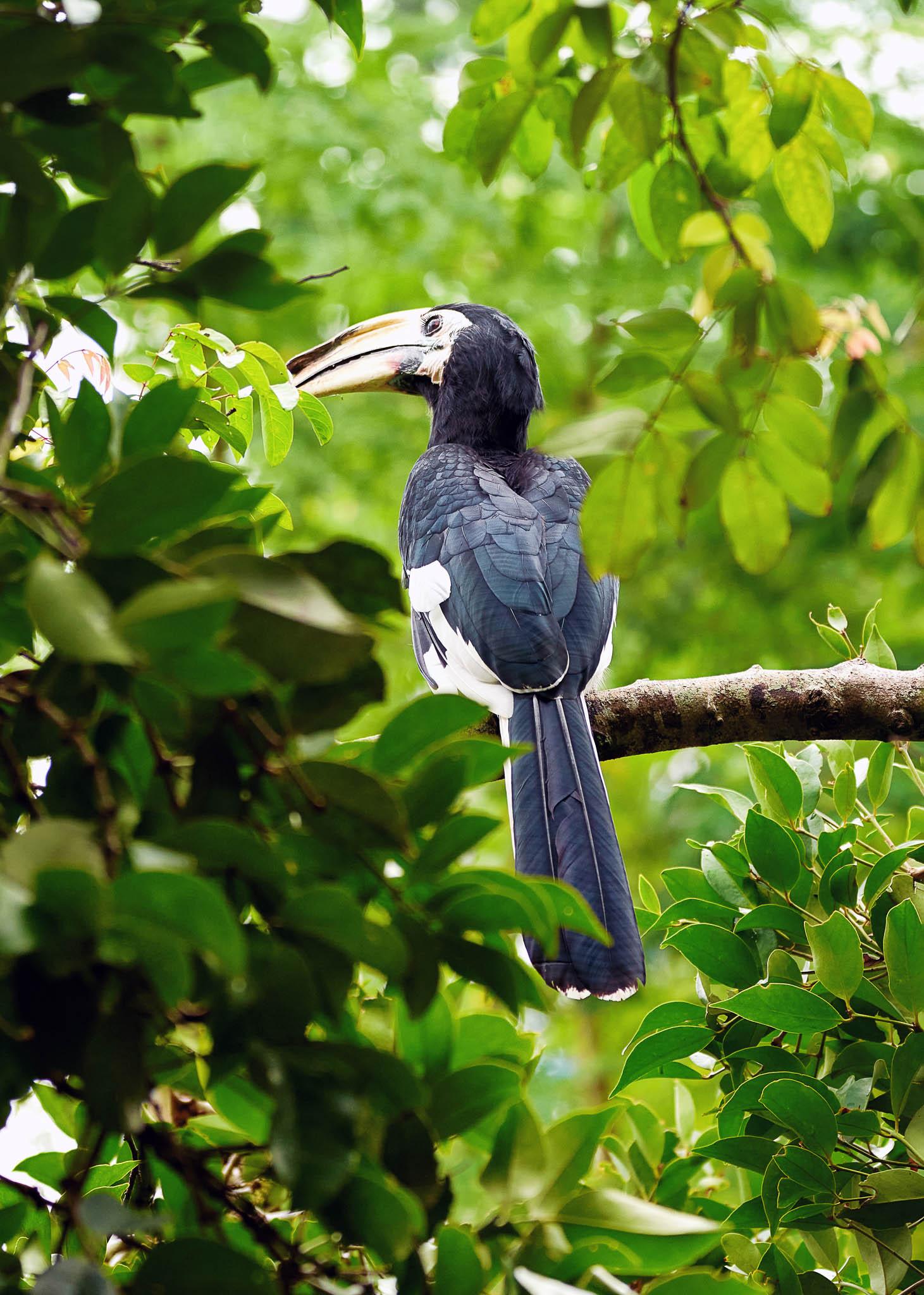A Oriental pied-hornbill bird at Pulau Ubin, Singapore