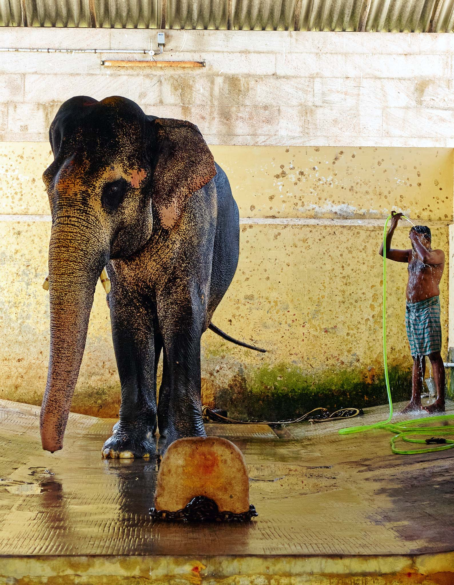 A mahout is taking bath after bathed the temple elephant, Ramanathaswamy Temple, Rameswaram, Tamil Nadu, India